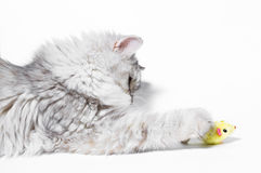 Маленькие игры котенка Стоковые Фотографии RF