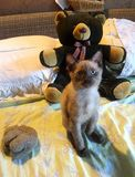 Маленькие котенок и кукла Big Bear Стоковое фото RF