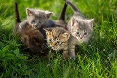 Маленькие котята tabby на зеленой траве Стоковые Фотографии RF