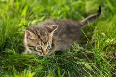 Маленькие котята tabby на зеленой траве Стоковое Изображение