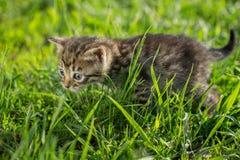 Маленькие котята tabby на зеленой траве Стоковая Фотография RF