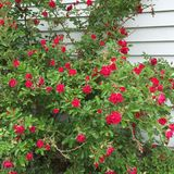 Маленькие красные розы Стоковая Фотография