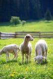 Маленькие овечки пася на красивом зеленом луге с одуванчиком Стоковая Фотография