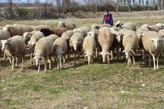 Маленькие овцы мальчика чабана пася Стоковое фото RF