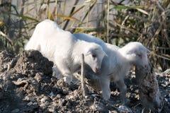 маленькие овцы Стоковые Изображения