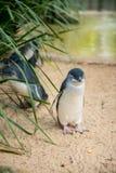 Маленькие пингвины в Австралии Стоковая Фотография