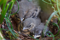 Маленькие птицы в гнезде Стоковые Изображения RF