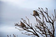 Маленькие птицы сидя на щетке, на ветвях дерева, Виктория, Австралия Стоковые Изображения