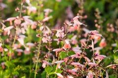 Маленькие розовые цветки зацветая в поле весной Стоковое Изображение