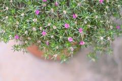 Маленькие розовые цветки суккулентные Стоковая Фотография RF