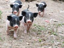 маленькие свиньи стоковая фотография