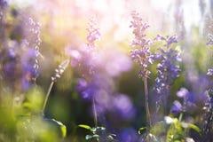 Маленькие фиолетовые цветки в утре Стоковые Изображения