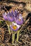 Маленькие фиолетовые цветки на поле леса Стоковое Изображение RF