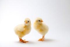 Маленькие цыпленоки перед яркой предпосылкой Стоковое фото RF