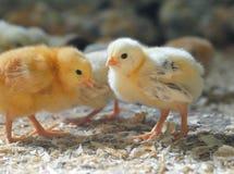 Маленькие цыплята Стоковое Изображение RF