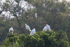 Маленькие egrets и egrets скотин, Camargue, Франция Стоковые Изображения RF