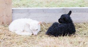 Маленькие newborn овечки отдыхая на траве - черно-белой Стоковые Изображения RF