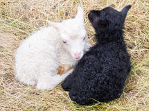 Маленькие newborn овечки отдыхая на траве - черно-белой Стоковые Изображения