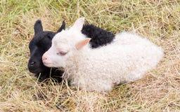 Маленькие newborn овечки отдыхая на траве - черно-белой Стоковое Изображение