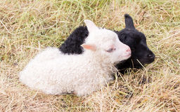 Маленькие newborn овечки отдыхая на траве - черно-белой Стоковое фото RF