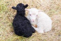 Маленькие newborn овечки отдыхая на траве - черно-белой Стоковые Фотографии RF