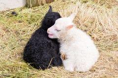 Маленькие newborn овечки отдыхая на траве - черно-белой Стоковые Фото