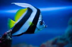 Маленькие striped рыбы в аквариуме в воде с рифом в Стоковые Изображения