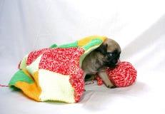 Маленький бежевый щенок Mopsa выходит из-под шерстяной шотландки стоковые изображения