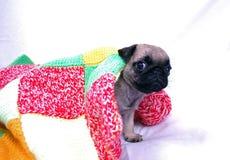 Маленький бежевый щенок Mopsa под шерстяной шотландкой стоковые изображения