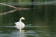 Маленький белый лебедь Стоковые Изображения RF