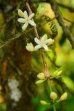 Маленький белый жасмин Стоковые Фото