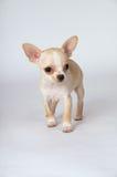 Маленький белый чихуахуа щенка, который нужно побежать к встрече стоковые изображения