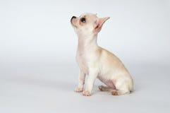 Маленький белый чихуахуа щенка смотря к верхней части стоковое изображение rf