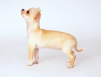 Маленький белый чихуахуа щенка смотря к верхней части стоковые фото