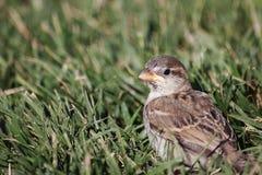Маленький воробей в траве Стоковая Фотография RF