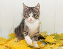 Маленький вспугнутый котенок tabby стоковое фото rf