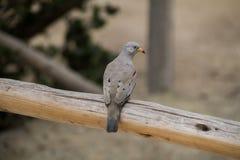 Маленький голубь Tortolite стоковая фотография
