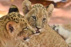 Маленький лев Cubs Стоковое Фото