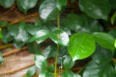 Маленький желтый паук с зеленым цветом покидает предпосылка Стоковые Изображения