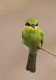 Маленький зеленый едок пчелы Стоковое Изображение