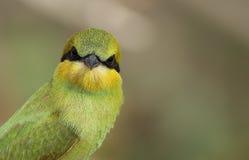Маленький зеленый едок пчелы Стоковое Фото