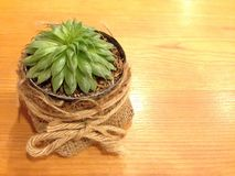 Маленький зеленый кактус Стоковое Изображение