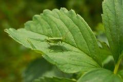 Маленький зеленый кузнечик сидя на клубнике листа Стоковое Изображение