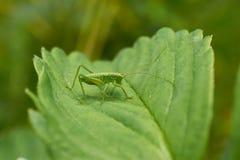 Маленький зеленый кузнечик сидя на клубнике листа Стоковые Изображения RF