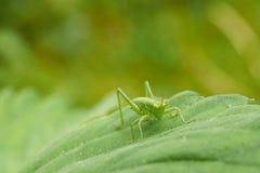 Маленький зеленый кузнечик сидя на клубнике листа Стоковые Фотографии RF