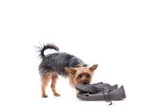 Маленький йоркширский терьер жуя на старых ботинках Стоковые Изображения RF