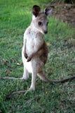 Маленький кенгуру  Стоковая Фотография RF