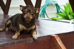 Маленький коричневый миниатюрный pinscher сидя на деревянном земном flo стоковое фото