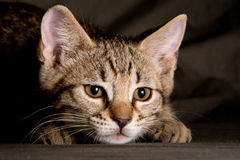 Маленький котенок в смешном представлении Стоковое Изображение