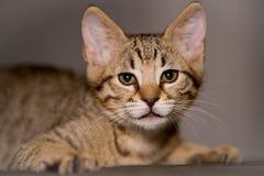 Маленький котенок в смешном представлении Стоковая Фотография RF